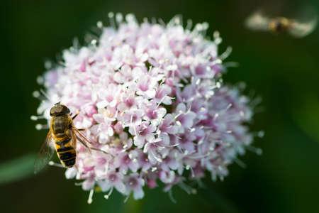 valerian: ape su minore, valeriana alp fiore Archivio Fotografico