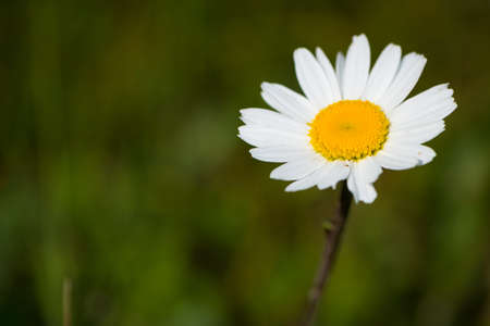 macro of marguerite flower photo