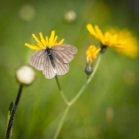 senecio: butterfly sitting on groundsel flower