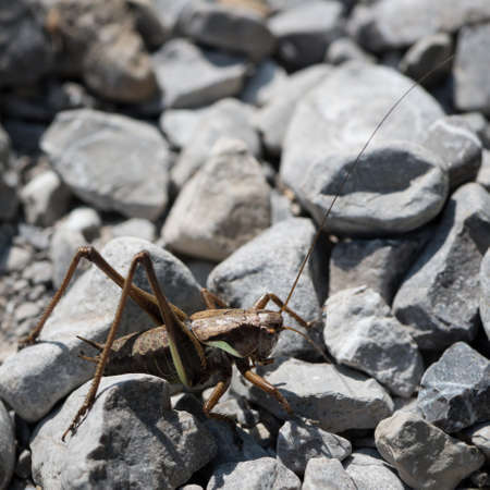 caelifera: huge grasshopper sitting on broken stones