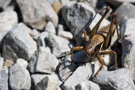 wingless: huge grasshopper sitting on broken stones