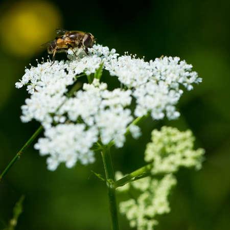 sanguisorba: bee on blossom of burnet alp flower
