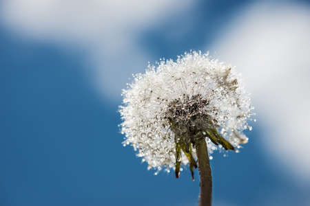 pappus: head of blowball blossom with water drops and soft sky