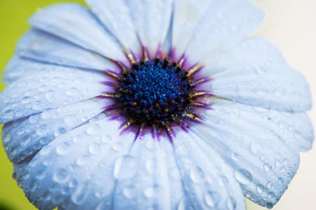 top view of cape rain daisy flower with water drops on petals Stock Photo
