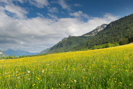 greem: greem yellow meadow full of dandelions with mountain at summer
