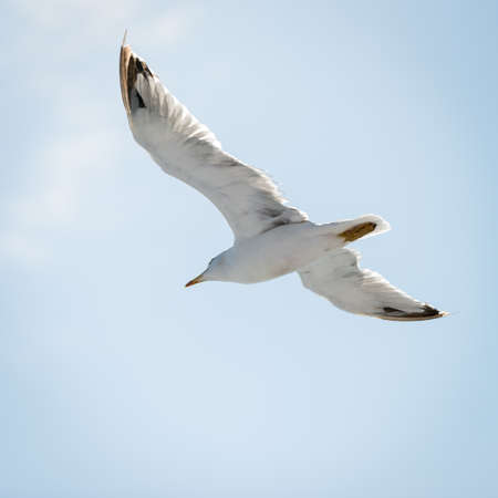 wingspread: bottom view of white flying sea gull with openend wings Stock Photo
