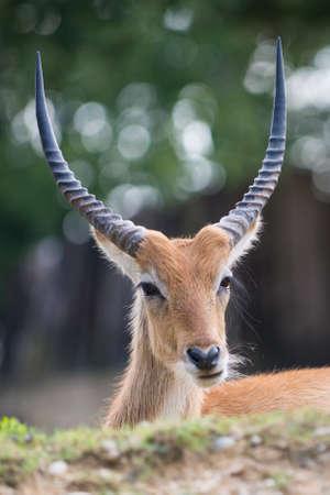springbuck: Cobo dellEllisse antilope portrait with huge horns