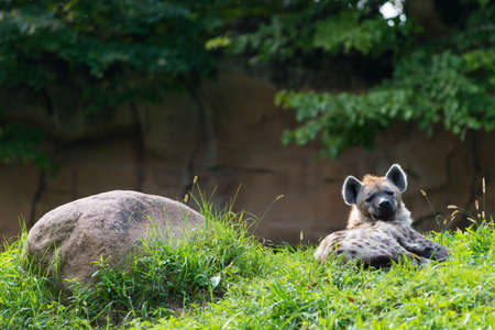 single brown hyena lying next rock in green grass photo
