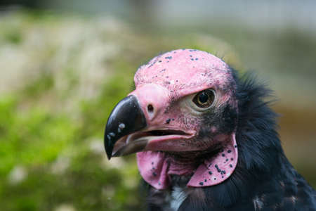bald ugly: Head of Lappet-faced or Nubian Vulture with black pecker Stock Photo
