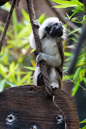 liszt: one Cotton-top Tamarin Monkey sits on wood holding at rope