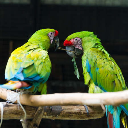 two green red parrots struggle for one piece of wood photo
