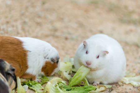 cavie: carino selvatici erba ratto bianco e criceto mangiare