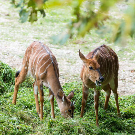 tow young cute Nyala angasii or Tragelaphus angasii native in africa photo