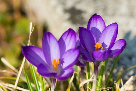 two crocus flowers with yellow blossom at march Stock Photo