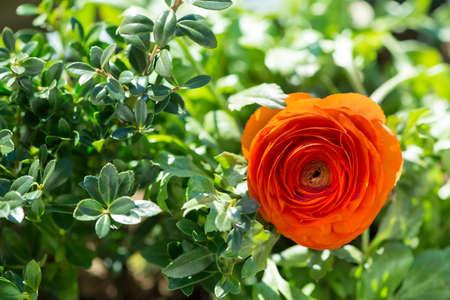 buttercup flower: blossom of buttercup flower between green leafs at garden