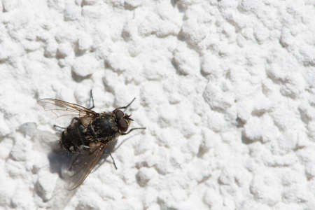irritate: ephemeropteran fly on white stucco to warm her up