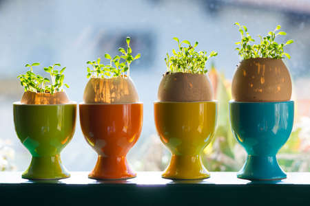 berros: hueveras de cerámica de colores con cáscaras de huevo con berro crece fuera Foto de archivo