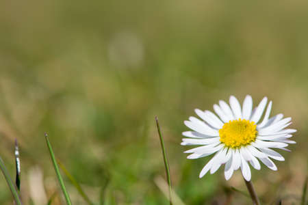 yellow blossom: white gowan daisy flower with yellow blossom in green meadow Stock Photo