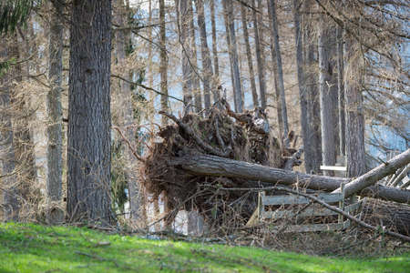 overthrown: overthrown tree with roots out because of thunder storm weather