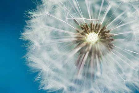 anthesis: blossom of dandelion blowball with blue sky bavkground Stock Photo