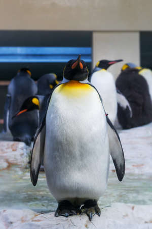 zoo as: large penguin standing as outsider alone on ice at zoo Stock Photo