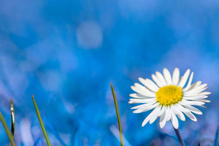 daisies: one gowan daisy flower on blue background