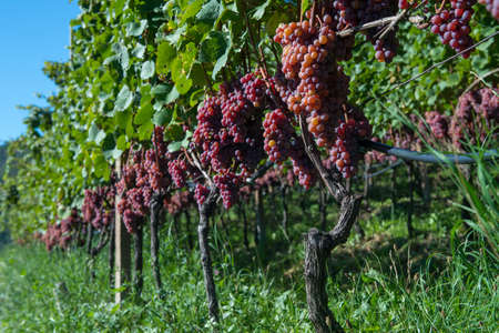grape vines: bunch of red grape vines for wine production at south tyrol