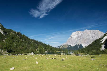 oveja: ovejas en la pradera de montaña con el lago Seebensee en tirol Foto de archivo
