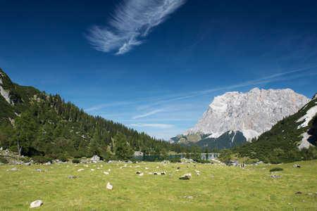 flock of sheep: sheeps at mountain meadow with lake seebensee in tyrol