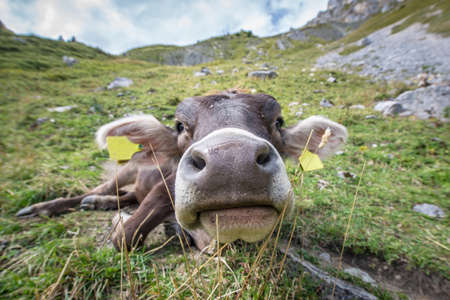 closeup cow face: big nose of labeled young cow on mountain meadow Stock Photo