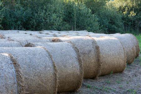 hayroll: several rolled hay bale at rural meadow