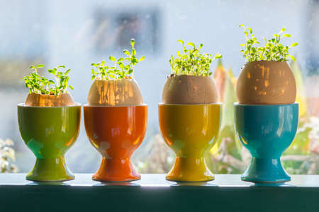 egg cups: four color egg cups with growing green cress Stock Photo