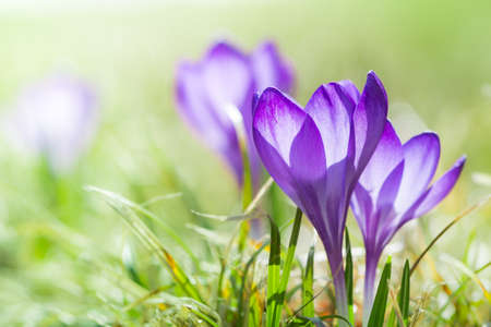 magenta crocus flower blossoms at spring with green grass