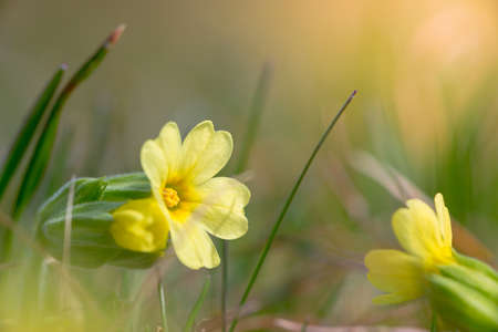 primula: yellow blossom of common cowslip between grass at spring