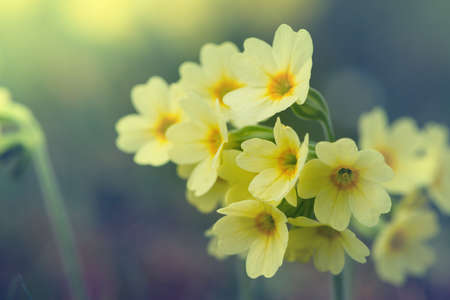 cowslip: blossoms of common cowslip flowers in vintage style