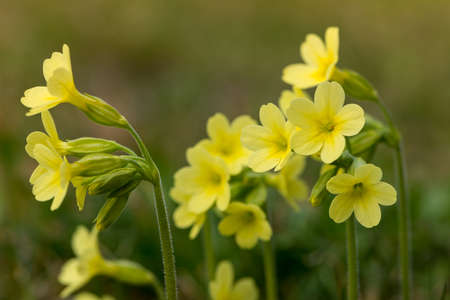 cowslip: several yellow blossoms of common cowslip flower at spring