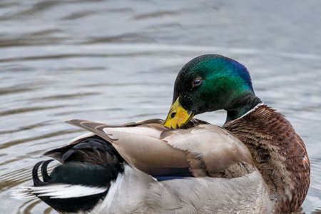 drake duck cleaning his feathers with spout at lake Stock Photo