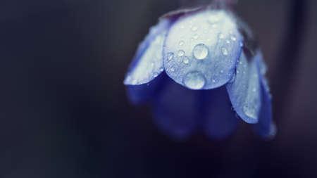 geranium: blue blossom with water drops of geranium pratense