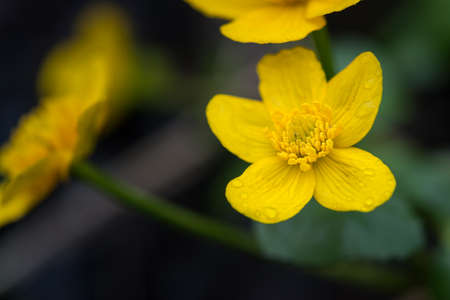 yellow blossom: yellow blossom with water drops of marsh marigold