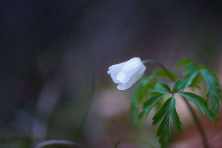 closed blossom of single white wood anemone flower