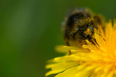 hairy bumblebee with pollen on common dandelion flower