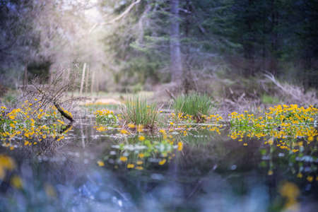 tree marigold: swamp in forest with sun highlight and marsh marigold flowers