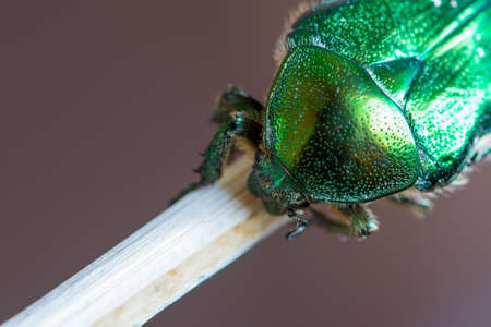 detail of dotted armature of green smaragd beetle bug on wood Stock Photo