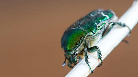 green smaragd beetle insect on wooden stick on brown background
