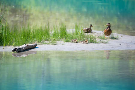 cute ducks with baby at blue lake with grass and wood at coast Stock Photo