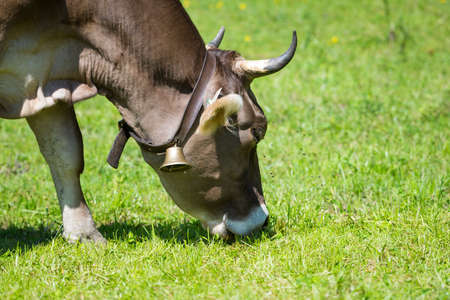 graze: animal cow with cowbell and horns graze at green meadow