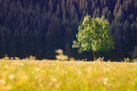spring green: single tree in front of forest and meadow grass and flowers at autumn Stock Photo