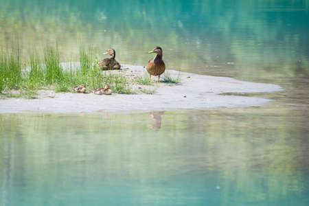 duck family with young babies at river bank with grass and blue water Stock Photo