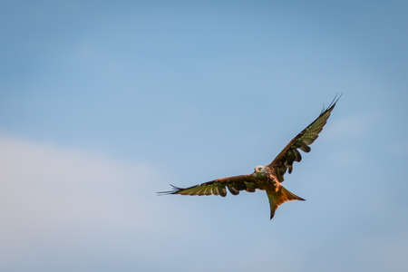 milvus: big red kite flying with openend splayed wings on blue sky