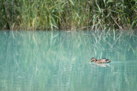 baby duck swims from right to left before grass reeds on lriver Stock Photo